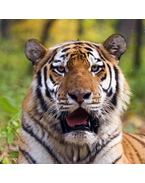 Tigris 3D hűtőmágnes 75 x 75 mm M